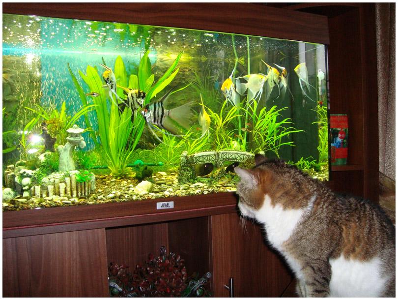 Кот смотрит на аквариум